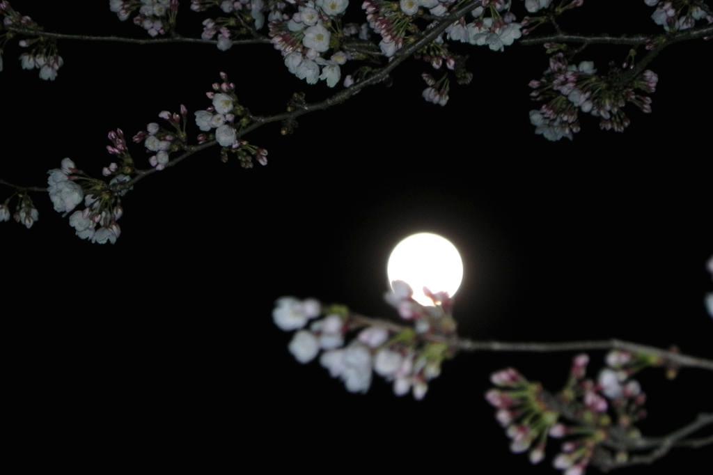 見納めの「菜の花カワセミ」/今年2回目のブルームーン_b0024798_5483186.jpg