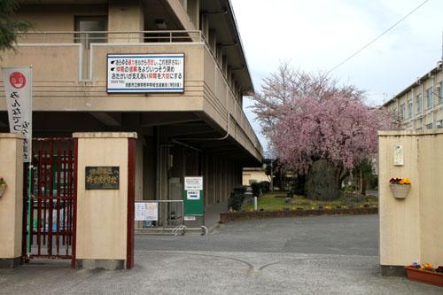 学校の桜_e0048413_2283925.jpg