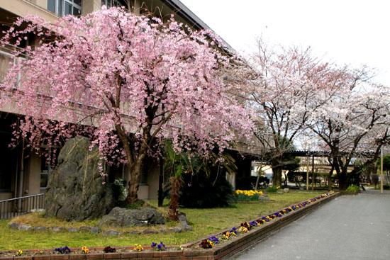 学校の桜_e0048413_228567.jpg