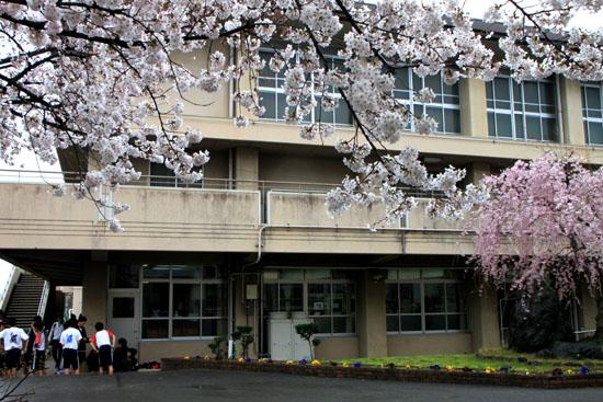 学校の桜_e0048413_2292976.jpg