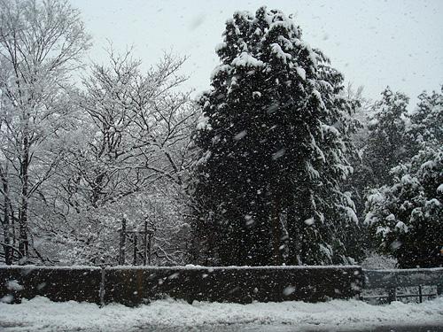 雪 → 桜_e0131432_12474751.jpg