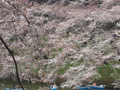雪 → 桜_e0131432_1248543.jpg
