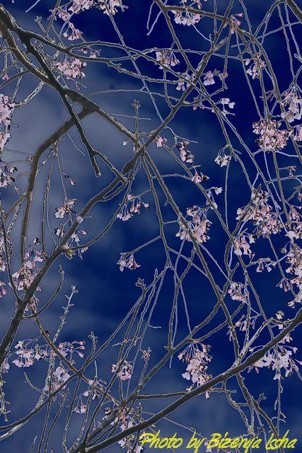 鎌倉の櫻_d0086248_22103351.jpg