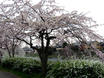 京都さくらたより_b0153663_1351162.jpg