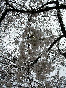 おひとりさまの花見 その一_f0139963_2344472.jpg