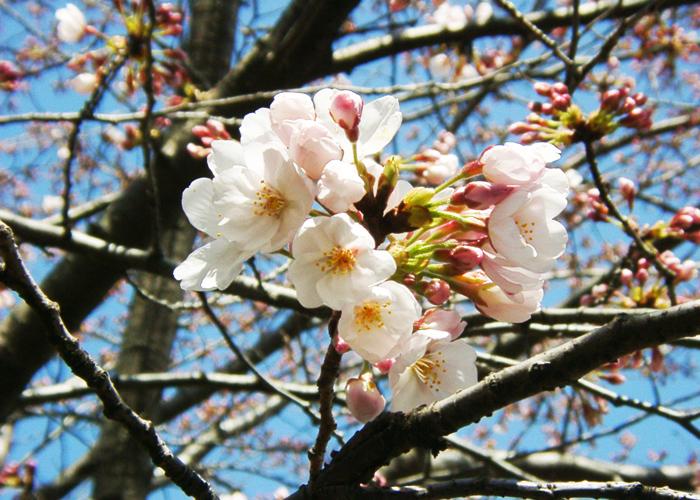 桜2010~このブログをしばらくおやすみします_a0024690_154639.jpg