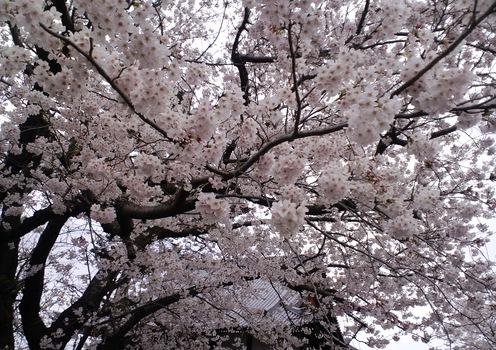 桜咲く頃_d0136506_1436794.jpg