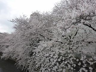 memory of cherry tree_a0165160_19561536.jpg