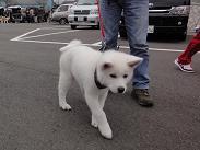秋田犬の展覧会_b0124462_9585481.jpg