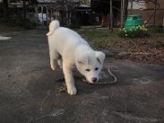 秋田犬の展覧会_b0124462_9592656.jpg