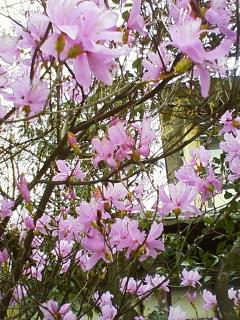 咲き盛り目立ってます_f0156675_13303951.jpg