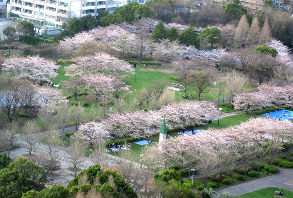 桜満開_b0083801_0265480.jpg