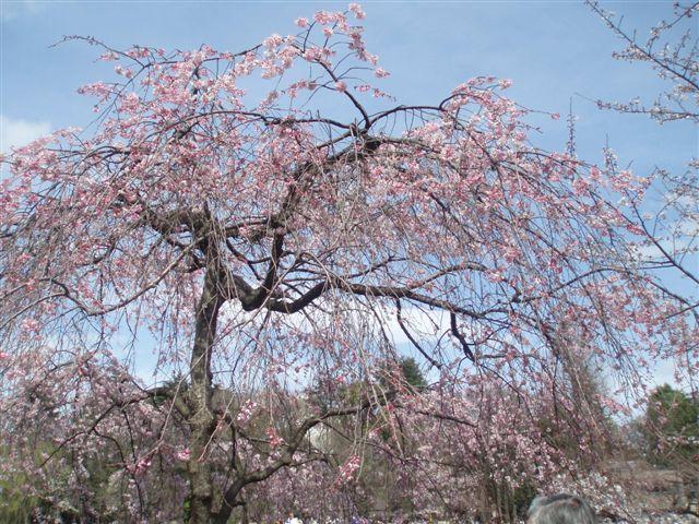 2010.4.3  待ちかねて 天に舞い咲く しだれ桜_d0027507_13441295.jpg