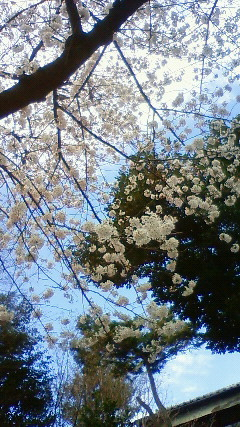 SAKURA★桜_f0128409_1130269.jpg