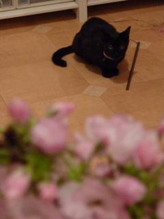 桜見猫 空しぇるのぇるろった編。_a0143140_1711050.jpg