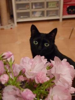 桜見猫 空しぇるのぇるろった編。_a0143140_17205974.jpg