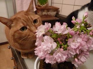 桜見猫 空しぇるのぇるろった編。_a0143140_1781866.jpg