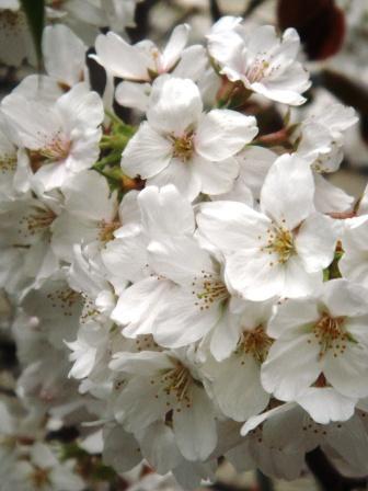 本日の桜_a0163160_0133595.jpg