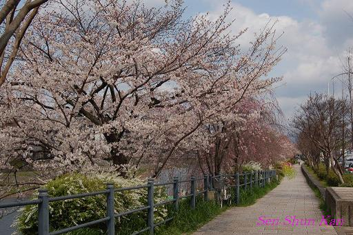 鴨川の桜_a0164068_2324125.jpg