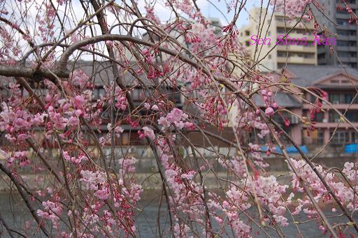 鴨川の桜_a0164068_2324435.jpg