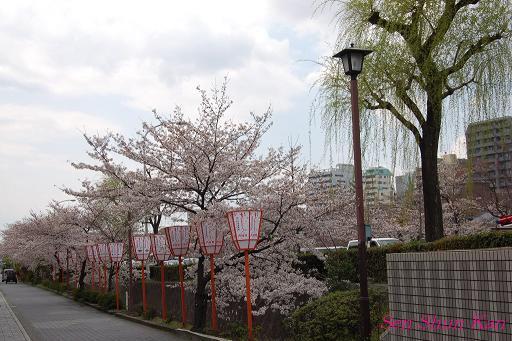 鴨川の桜_a0164068_23261998.jpg