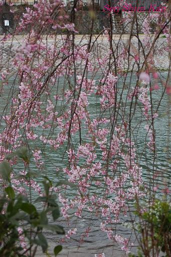鴨川の桜_a0164068_23293060.jpg