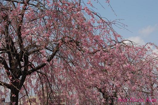 鴨川の桜_a0164068_23311238.jpg