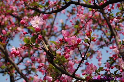 鴨川の桜_a0164068_23322073.jpg