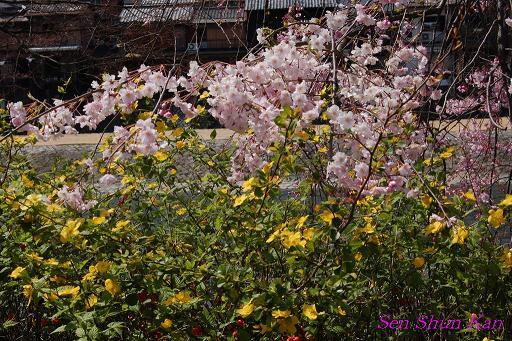 鴨川の桜_a0164068_2332361.jpg