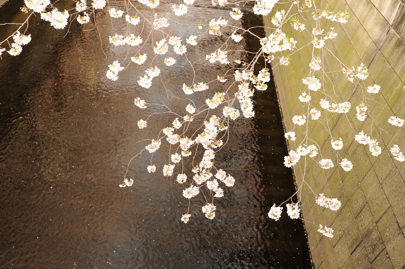 桜見物@目黒川_d0056382_23484863.jpg