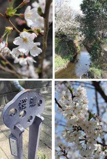 桜満開_b0189489_2231820.jpg