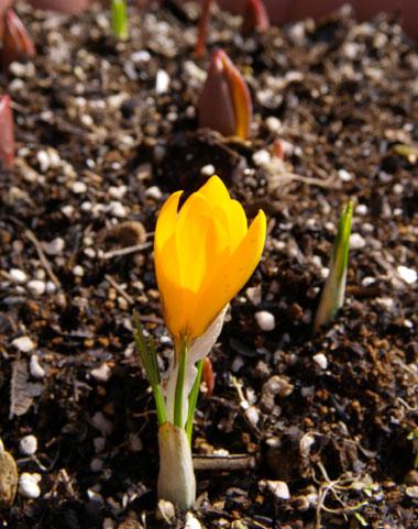 ようやく咲いたクロッカス♪_a0136293_1325375.jpg