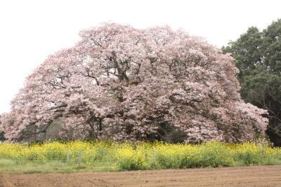 桜_f0180307_1420389.jpg