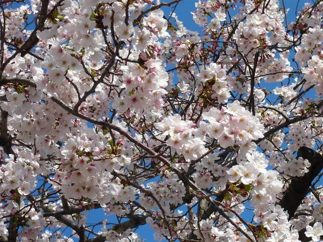 RoCoCoの周辺 桜_f0223914_22425583.jpg