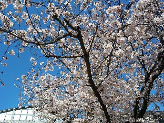RoCoCoの周辺 桜_f0223914_22551046.jpg