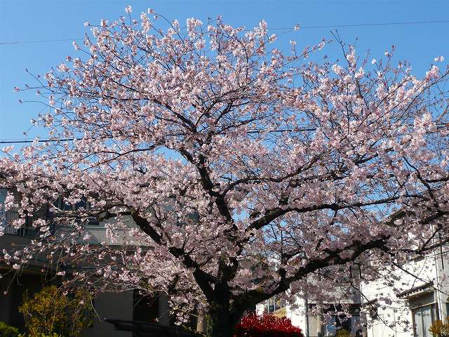 RoCoCoの周辺 桜_f0223914_2256236.jpg