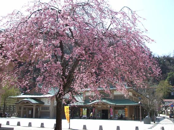山中座 春・桜の装い_f0040218_14123646.jpg
