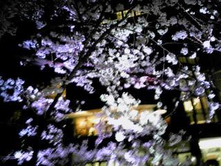 桜咲く♪_d0133225_17232945.jpg
