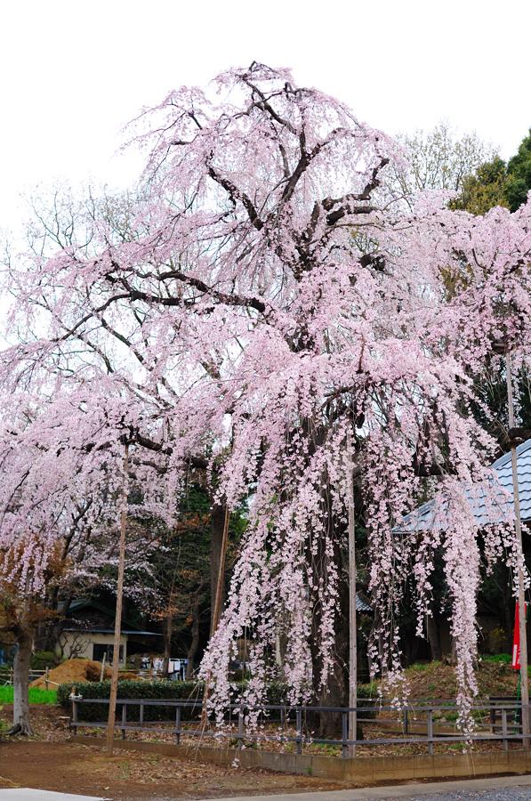 桜_f0215145_726715.jpg