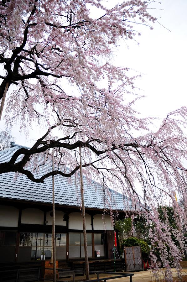 桜_f0215145_7282644.jpg