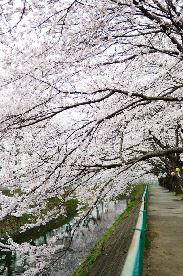 桜_f0215145_7321844.jpg