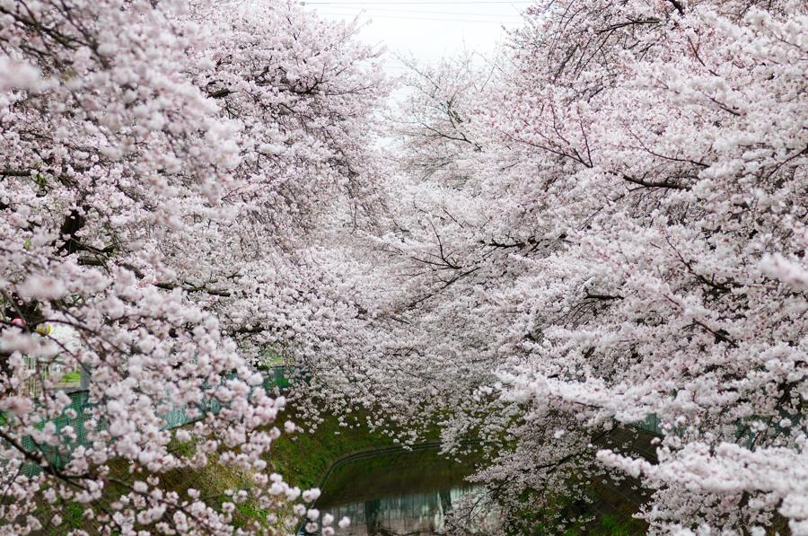 桜_f0215145_732729.jpg