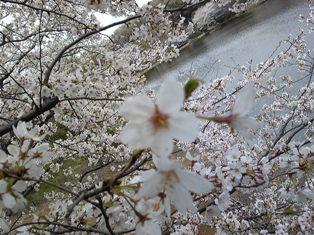 今年の桜 ~sakura 2010~_c0105183_22131062.jpg