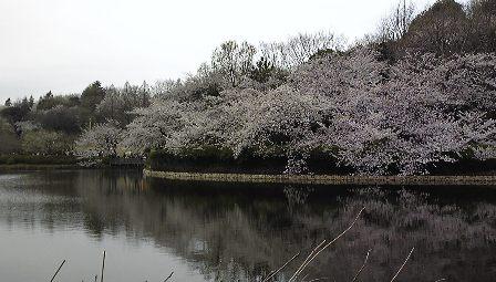 今年の桜 ~sakura 2010~_c0105183_22132712.jpg