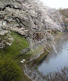 今年の桜 ~sakura 2010~_c0105183_2213433.jpg