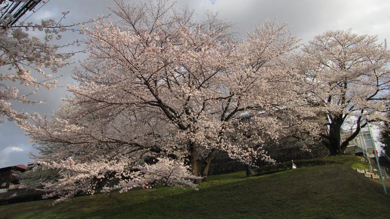 桜@聖蹟桜ヶ丘_c0000587_0183787.jpg