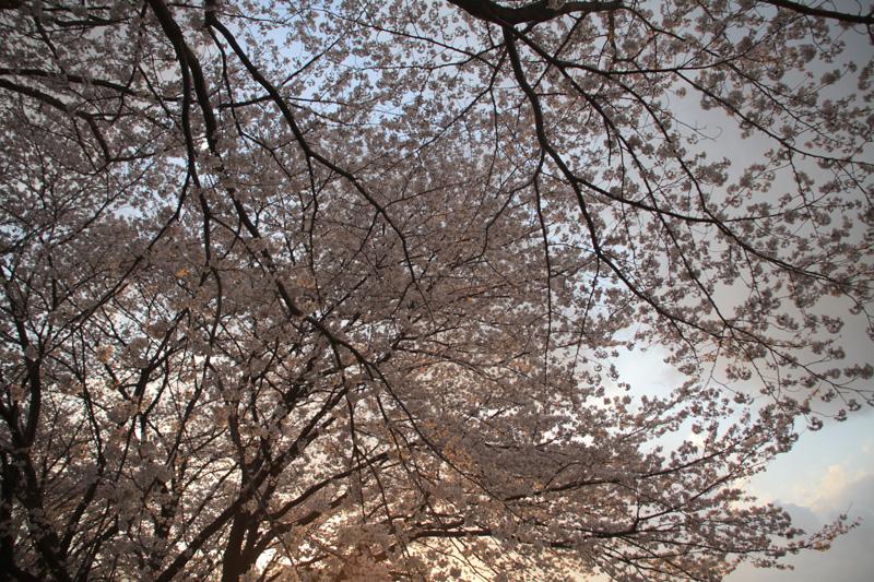 桜@聖蹟桜ヶ丘_c0000587_0192918.jpg