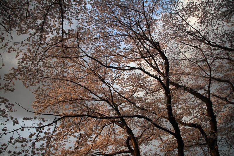 桜@聖蹟桜ヶ丘_c0000587_0203872.jpg