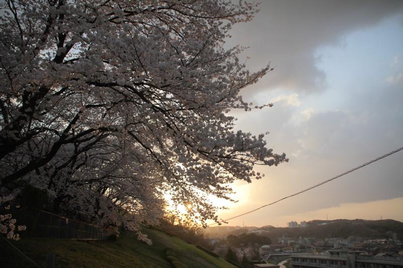 桜@聖蹟桜ヶ丘_c0000587_0211440.jpg