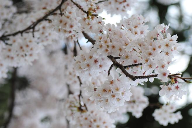 cerisier_c0195496_2023293.jpg